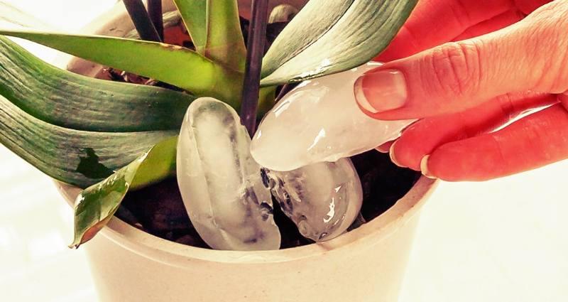 hielo_regar_orquidea
